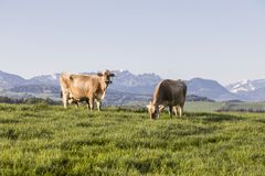 Swiss brown cattle grazes on a spring morning on a meadow in the prealps. Swiss brown cattle grazes on a spring morning on a meadow in the foothills of Stock Photos