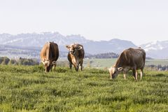 Swiss brown cattle grazes on a spring morning on a meadow in the prealps. Swiss brown cattle grazes on a spring morning on a meadow in the foothills of Stock Image