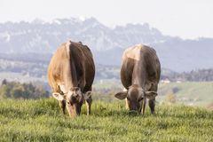 Swiss brown cattle grazes on a spring morning on a meadow in the prealps. Swiss brown cattle grazes on a spring morning on a meadow in the foothills of Stock Photography