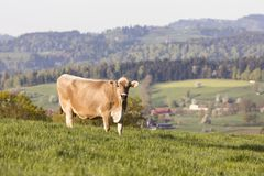 Swiss brown cattle stands on a spring morning on a meadow in the prealps. Swiss brown cattle stands on a spring morning on a meadow in the foothills of Royalty Free Stock Photo