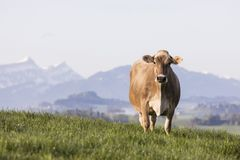 Swiss brown cattle stands on a spring morning on a meadow in the prealps. Swiss brown cattle stands on a spring morning on a meadow in the foothills of Royalty Free Stock Image