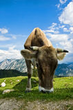 Swiss Cattle in the Alps Stock Photography