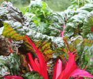 Swiss chard. Red swiss chard growing in the garden Royalty Free Stock Images