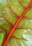 Swiss chard, close-up Royalty Free Stock Photos