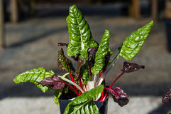 Swiss chard with colorful leaves. Potted swiss chard plant with colorful leaves Royalty Free Stock Image