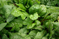 Swiss Chard Royalty Free Stock Photo