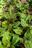 Swiss Chard Garden Stock Images