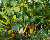 Swiss Chard In Garden Stock Images