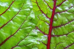 Swiss chard green leaf vegetable closeup. Macro closeup shiny green leaves and red veins of fresh grown Swiss chard Stock Photo