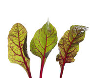 Swiss chard leaves Stock Photography