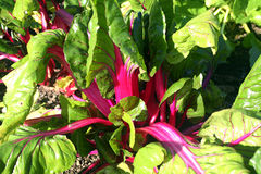 Swiss chard 'Pink Passion' Stock Images