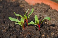 Swiss chard seedlings. Stock Images