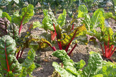 Swiss Chard in Sunny Late Afternoon Field Stock Photo