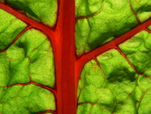 Swiss chard veins Royalty Free Stock Photo