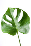 Swiss Cheese Plant / Monstera Royalty Free Stock Photos