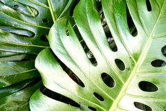 Swiss Cheese Plant Monstera deliciosa Colour. Close up of leaf structure of a Swiss Cheese Plant Monstera deliciosa in lush green colour Stock Photo