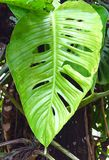 Swiss Cheese Plant - Monstera Deliciosa - Large Perforated Green Leaf. This is a photograph of swiss cheese plant, known as monstera deliciosa, windowleaf Stock Photo
