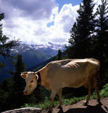 Swiss cow Royalty Free Stock Photos