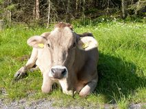 Swiss cow Stock Image