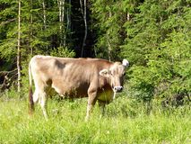 Swiss cow Royalty Free Stock Photography