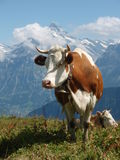 Swiss cow. White brown cow in Alps mountains Switzerland Stock Image