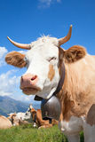 Swiss cow Royalty Free Stock Images