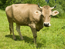 Swiss cow. In springtime meadow Royalty Free Stock Images