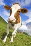 Swiss cow stock photo