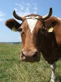 Swiss Cow. Brown cow in field Stock Photos