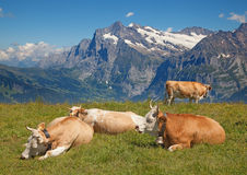 Swiss cow Stock Images