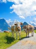 Swiss cow Stock Photos