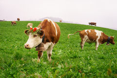 Swiss cow. In Gruyeres, Fribourg, zone on the Swiss alps, Switzerland. Photo taken on: Octember 11th, 2015 royalty free stock photo