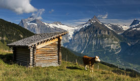 Swiss cow with large hills in the background Royalty Free Stock Images