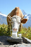 Swiss cow and milk Royalty Free Stock Photo