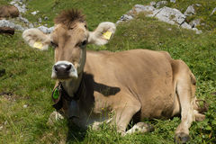Swiss cow on the mountain meadow in the Alps Stock Image