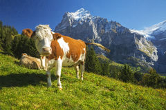 Swiss Cow Stock Photos
