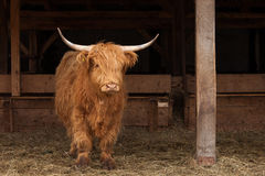 Swiss cow with a strong head Royalty Free Stock Photography
