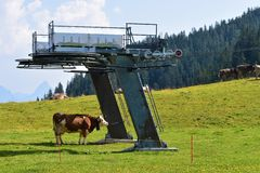 A Swiss cow is waiting for the start of the ski season royalty free stock photo