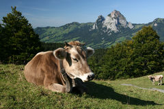 Swiss Cow With The Mountains Stock Photo