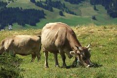 Swiss_cows Fotos de Stock