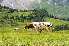 Swiss cows Royalty Free Stock Photo