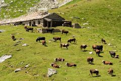 Swiss cows. Herd of Swiss cows in a green field, Switzerland Royalty Free Stock Photography
