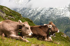 Swiss cows. Two swiss cows lying on a mountain side Royalty Free Stock Photos