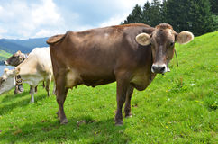 Swiss cows Stock Photography