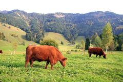 Swiss Cows Royalty Free Stock Image