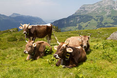 Swiss cows Royalty Free Stock Photos