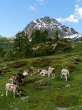 Swiss cows in the fields of the Bernina pass Stock Image
