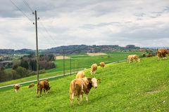 Swiss cows on green meadow Royalty Free Stock Photo