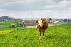 Swiss cows on green meadow Stock Photo