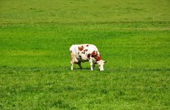 Swiss cows on green Pasture Royalty Free Stock Images